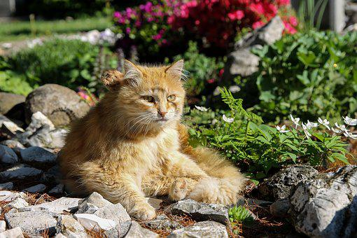 Red Cat, Cat, Pets, Kitten, Garden, Tom-cat