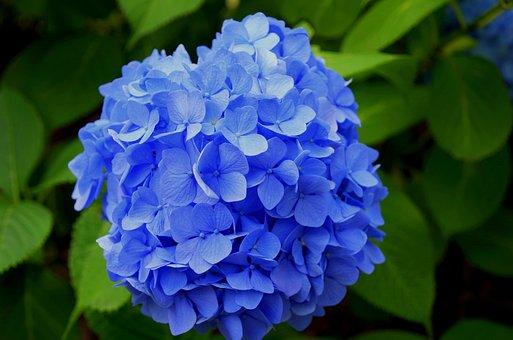 Hydrangea, Purple, Japan, Plant, Japan Flower, Grass