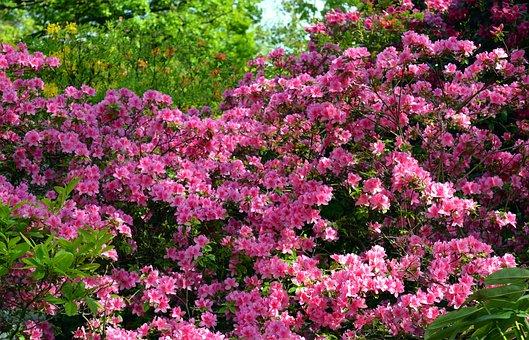 Azalea, Rhododendron, Flowers, Spring, Bloom, Close