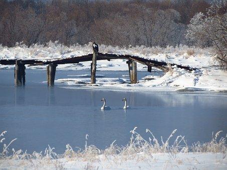 Steller's Sea Eagle, Swans, Small River, Duct, Bridge