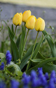 Tulips, Yellow, Flower Bed, Yellow Flowers, Plant