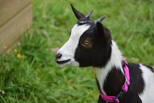 Goat, Profile, Head, Animals, Nature, Goat Baby, Animal