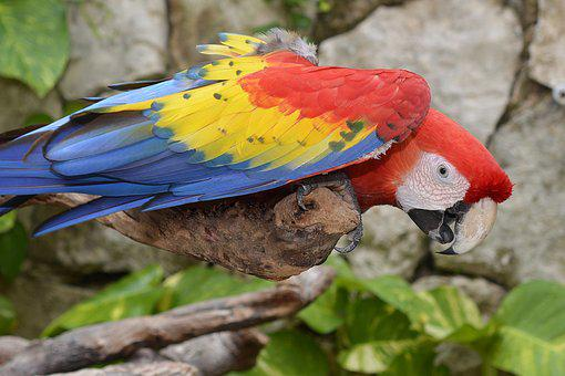 Parrot, Ara, Colorful, Bird, Color, Plumage, Animal