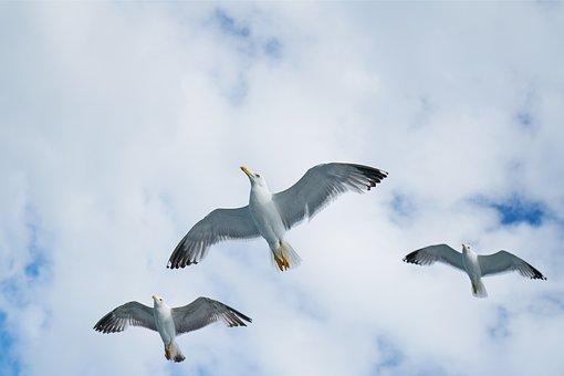 Birds, Seagull, Gulls, Beautiful, Bird, Nature, Clouds