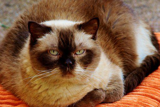 Cat, British Shorthair, Mieze, Domestic Cat, Pet