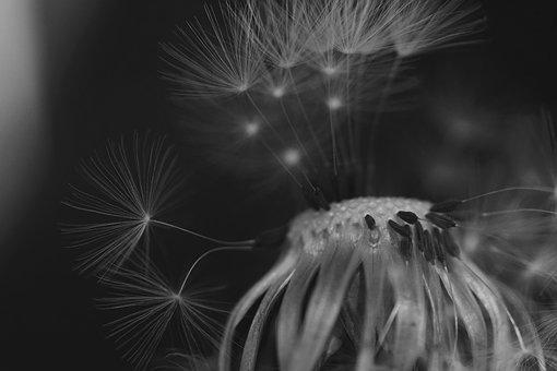 Dandelion, Black And White, Close, Seeds