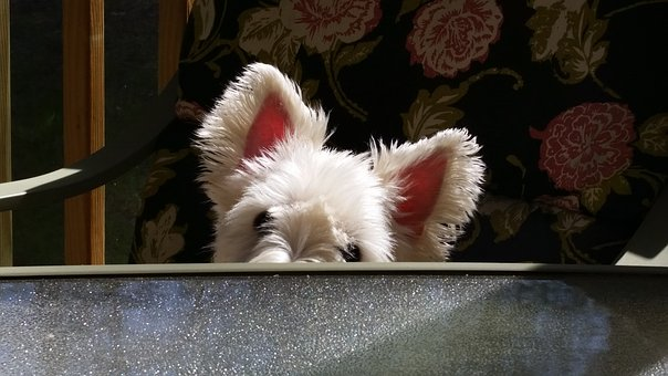 Dog, Westie, Terrier, Pet, Animal, White, Cute, Small