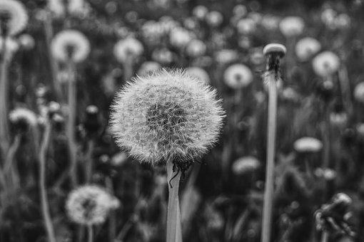 Dandelion, Black White, Nature, Pointed Flower, Meadow