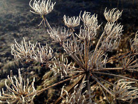 Plant, Flower, Frost, Sun, Umbel, Dry, Beautiful