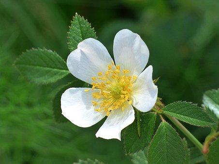 Wild Rose, Rosa Canina, Flower, Spring