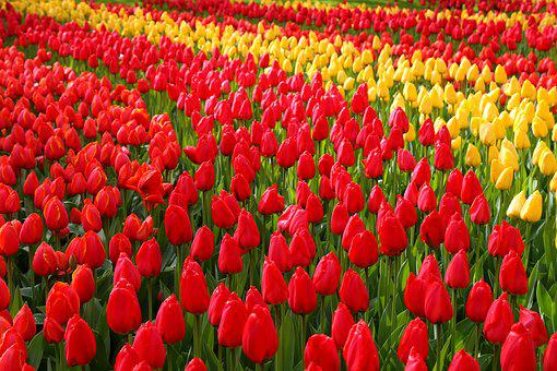 Keukenhof, Flowers, Holland, Plant, Tulip, Garden
