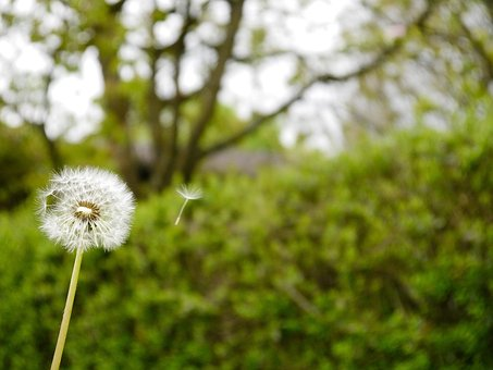 Dandelion, Faded, Seeds, Pointed Flower, Meadow, Spring
