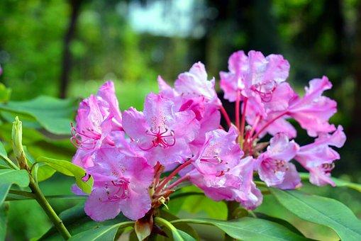 Azalea, Rhododendron, Flowers, Bloom, Pink, Garden