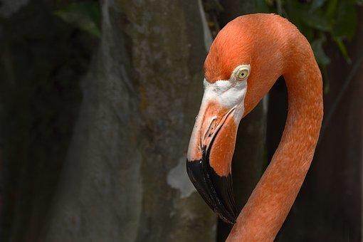 Flamingo, Salmon Pink, Animal, Bird, Bill, Neck