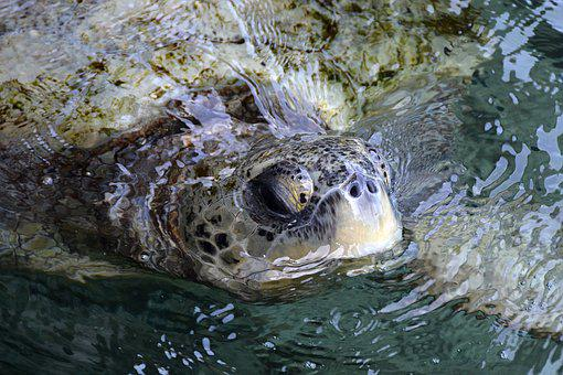 Sea Turtle, Green, Creature, Animal, Water, Sea, Nature