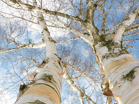Birch, Bark, White, Tree Bark, Skyward