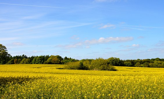 Field Of Rapeseeds, Landscape, Agriculture