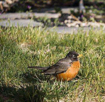 Robin, Bird, Nature, Animal, Wildlife, Cute, Spring