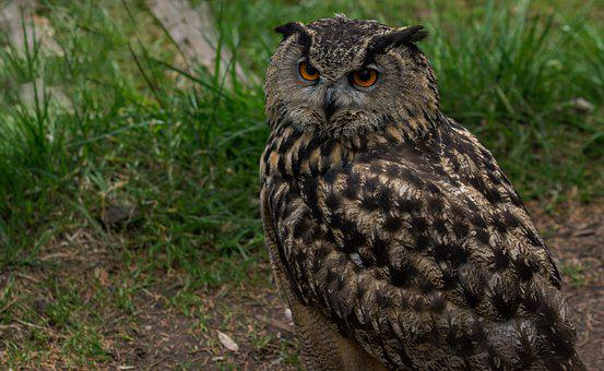 Eagle Owl, Raptor, Falconry, Bird, Feather, Plumage