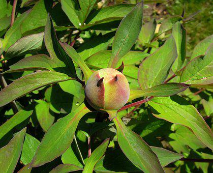 Peony, Peónia, Flower Buds, Foliage, Leaves, Green