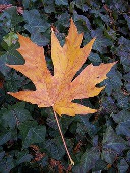 Autumn, Foliage, Maple Leaf