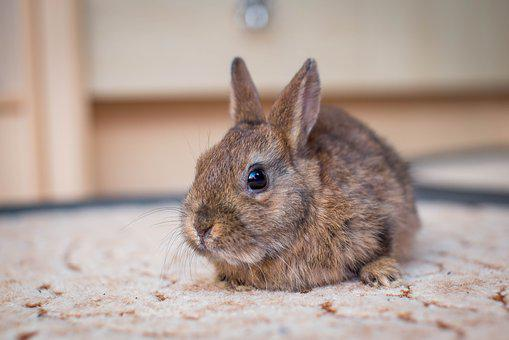 Dwarf Bunny, Hare, Small Hare, Nager, Dwarf Rabbit