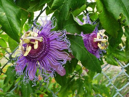 Passion Flower, Bloom, Purple, Nature, Foliage, Garden