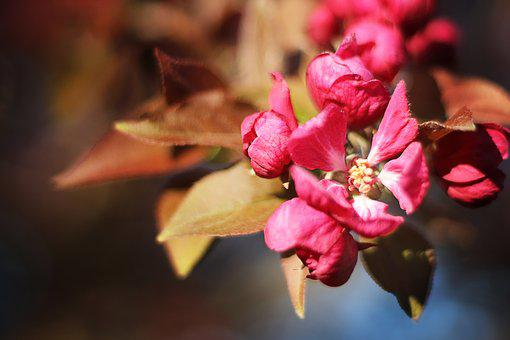 Blossom, Cherry, Spring, Branch, Flower, Bloom, Pink