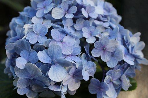 Hydrangea, Flower, Blue, Floral, Garden, Nature, Plant