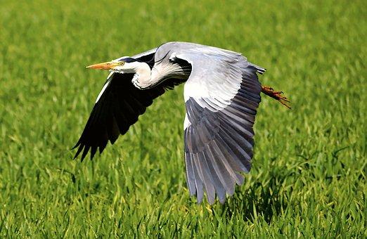 Heron, Flight, Fly, Bird, Nature, Plumage, Grey, Animal