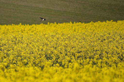 Swallow, Rapeseed, Spring, Yellow, Field, Nature