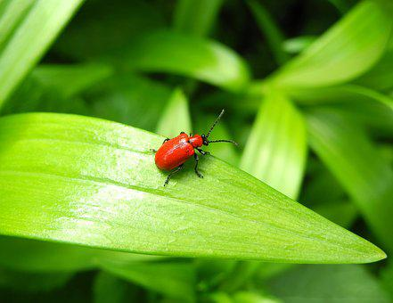 Beetle, Lily Beetle, Red Bug, Red, Foliage, Nature