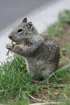 Nature, Squirrel, Wildlife, Wild, Mammal, Cute, Gray