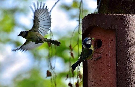 Blue Tits, Birds, Nest, Bird, Tit, Garden, Foraging