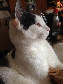 Cat, White, Pet, Black And White Cat, Domestic Cat