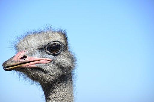 Ostrich, Looking At Me, African, Nature, Big Bird, Bird