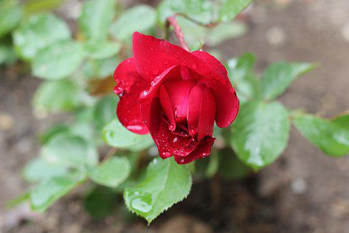 Red Rose, After Rain, Drops, Garden, Romantic