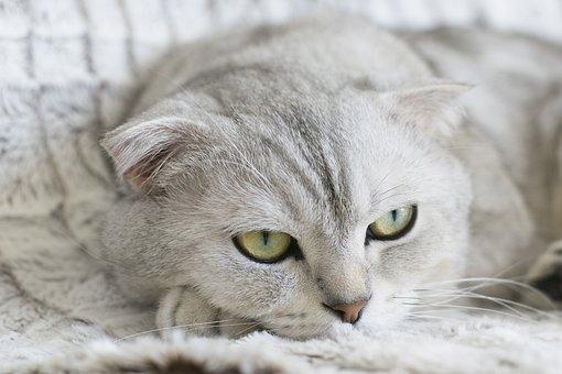Cat, Animal, Pet, Kitty, Scottish Fold, Kitten
