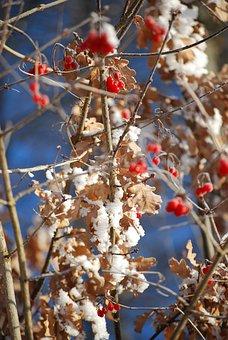Berries, Winter, Ripe, Berry Red, Snow, Wintry, White