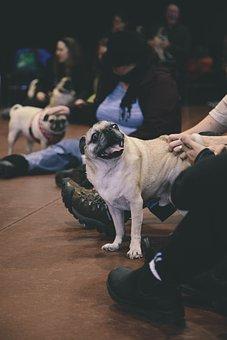 Pug, Dog, Animal, Funny, Cute, Breed, Fawn