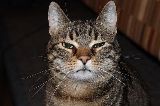 Cat, Mieze, Tiger Cat, Funny, Domestic Cat, Cat Face