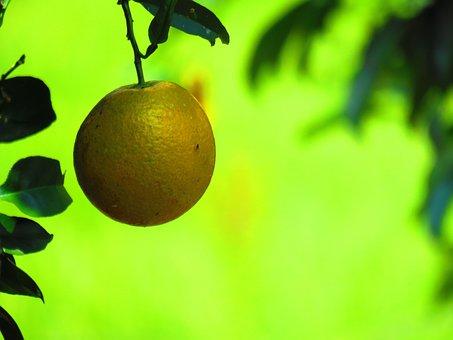 Orange, Citric, Fruit, Green, Citrus, Healthy, Nature