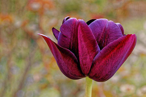Tulip, Lily, Violet, Purple, Spring, Nature, Flowers