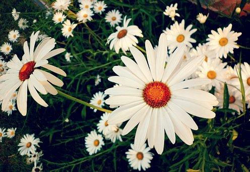 Daisy, Margaritas, Margaret Wild, Spring, Nature