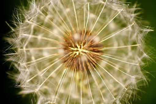 Dandelion, Pointed Flower, Close, Nature, Seeds, Spring