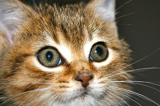 Kitten, Tabby, Cat, Pet, Feline, Domestic, Kitty, Cute