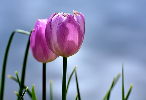 Tulips, Pink, Flowers, Spring, Plant