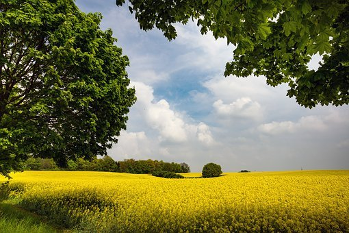 Oilseed Rape, Rape Blossom, Field Of Rapeseeds