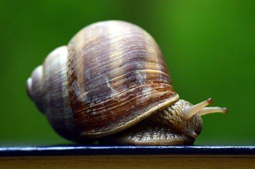 Snail, Shell, Mollusk, Nature, Reptile, Animal, Close