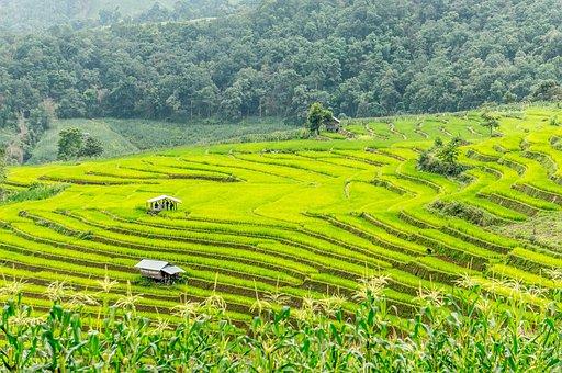 Rice Field, Rice Terrace, Thailand, Chiang Mai, Rice